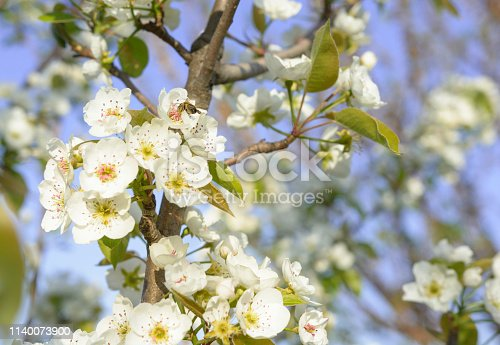Bee collecting pollen on white pear blossom, Honey bee is collecting pollen on a beautiful blooming pear tree