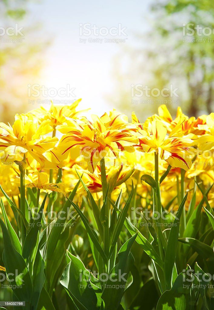 Spring background with beautiful yellow tulips (in soft focus) royalty-free stock photo