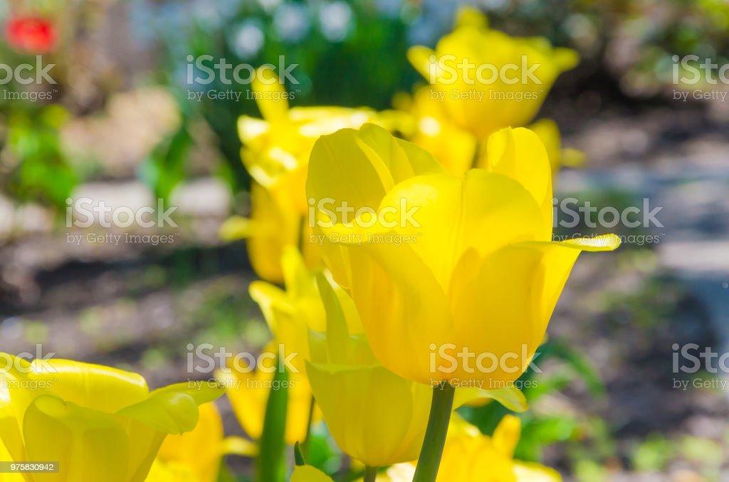 Frühling Hintergrund mit schönen gelben Tulpen - Lizenzfrei April Stock-Foto