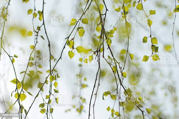 Spring background with bright green leaves of birch picture id489091344?b=1&k=6&m=489091344&s=612x612&h=utdvkuwzwlk8dwwec4edxaepoq7o5qb1qmubi1kzxl8=