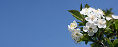 White blossom and green leaves on blue sky background.