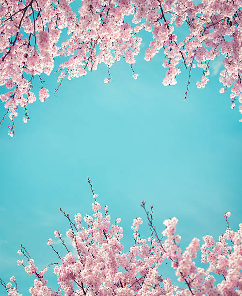 spring background with cherry flowers - sakura background stock photos and pictures