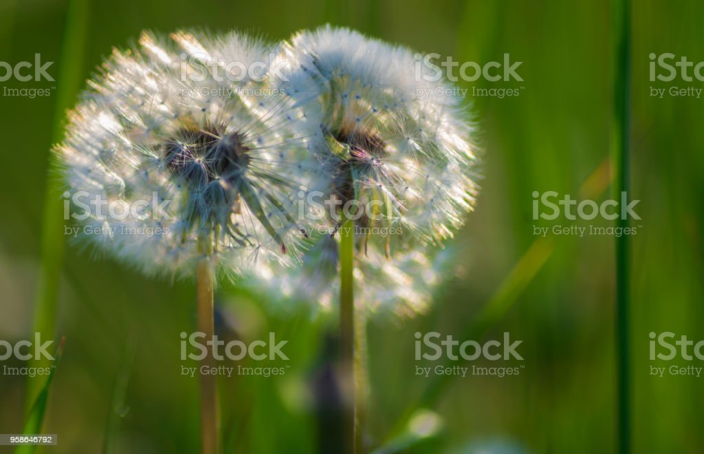 Spring background  with dandelions on a spring meadow stock photo