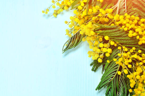 spring background with mimosa branches on the light blue surface - immagini mimosa 8 marzo foto e immagini stock