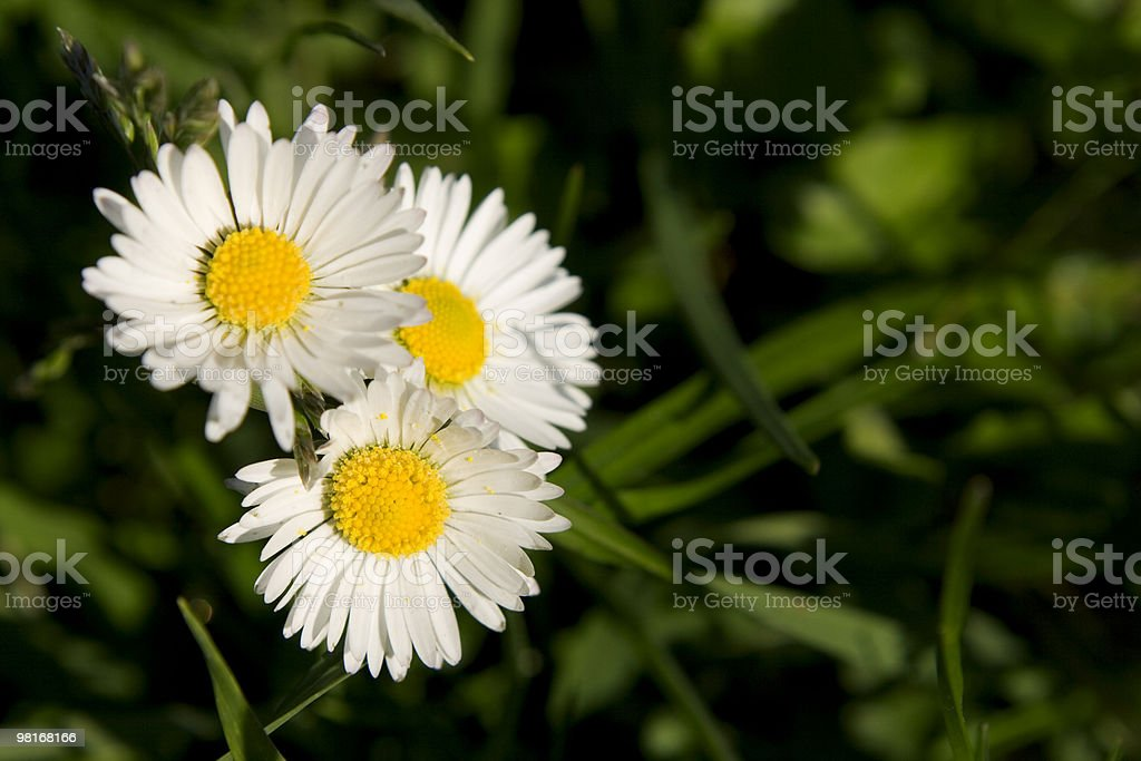 Spring background with three daisies. royalty-free stock photo
