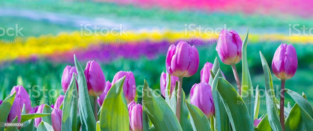 Spring background with tulip flowers. stock photo