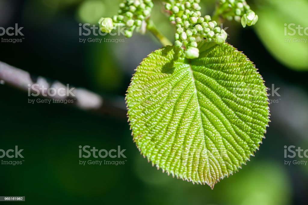 Spring background.Young green leavesof plants in gently green tones.  Space for text zbiór zdjęć royalty-free