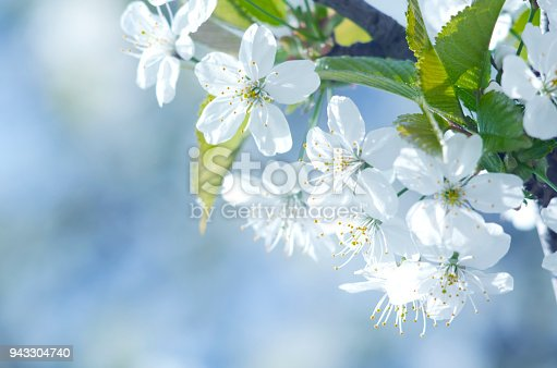 istock Spring beautiful blossoming apple-tree or cherry branches. Spring branch of a tree, with blossoming white small flowers 943304740