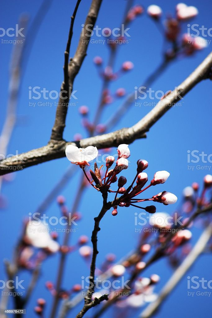 Spring, Beautiful nature scene with blossoming buds stock photo