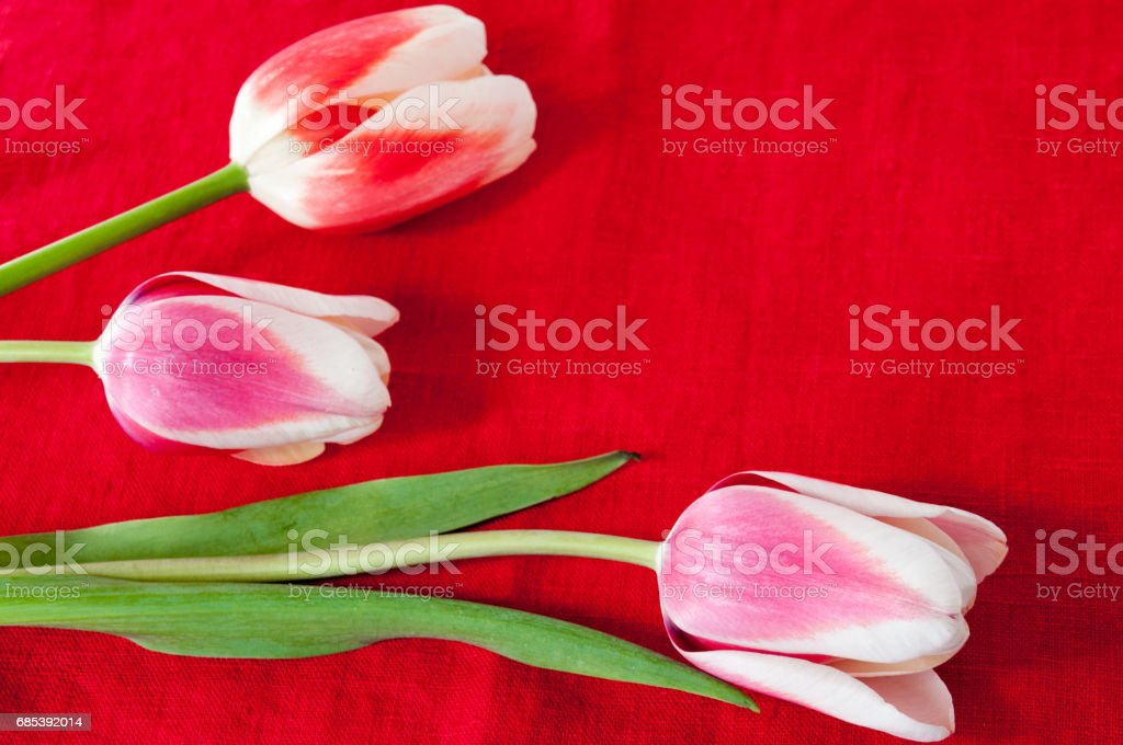 Spring beautiful tulips on a red background foto de stock royalty-free