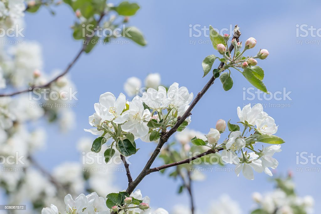 Spring Beauty Of Pink And White Apple Tree Flowers Stock Photo