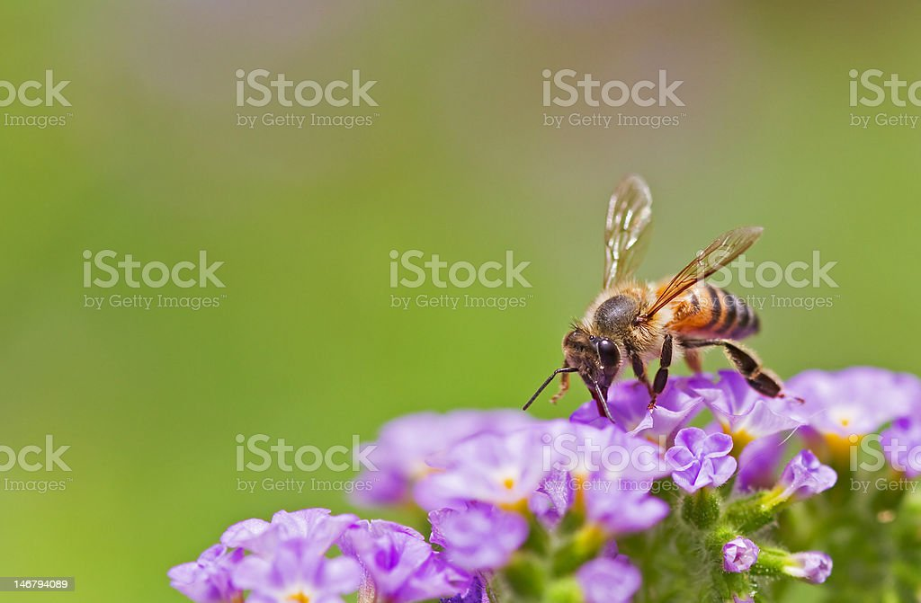 Spring bee royalty-free stock photo