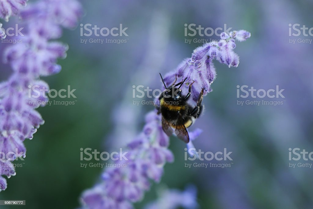 Spring! Bee pollinating flower sage stock photo