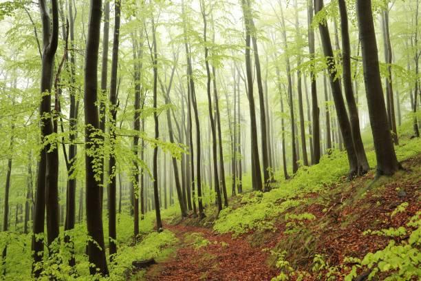 spring beech forest - заповедник дикой природы стоковые фото и изображения