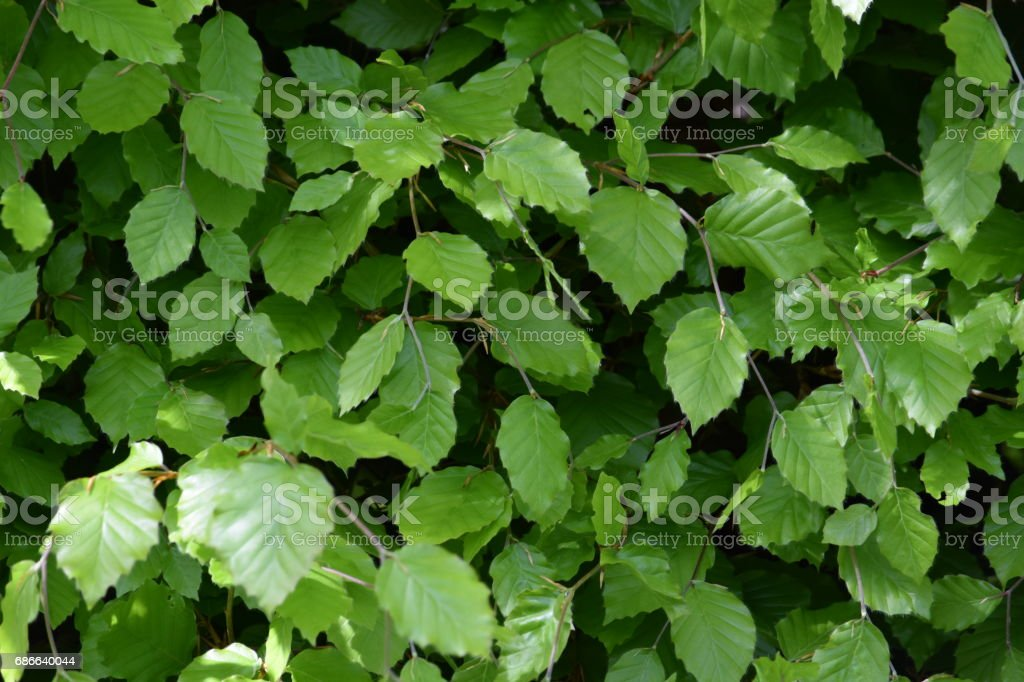 Spring beech hedge royalty-free stock photo