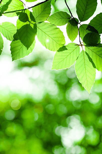 春ミヤマリーブズ - 木漏れ日 ストックフォトと画像