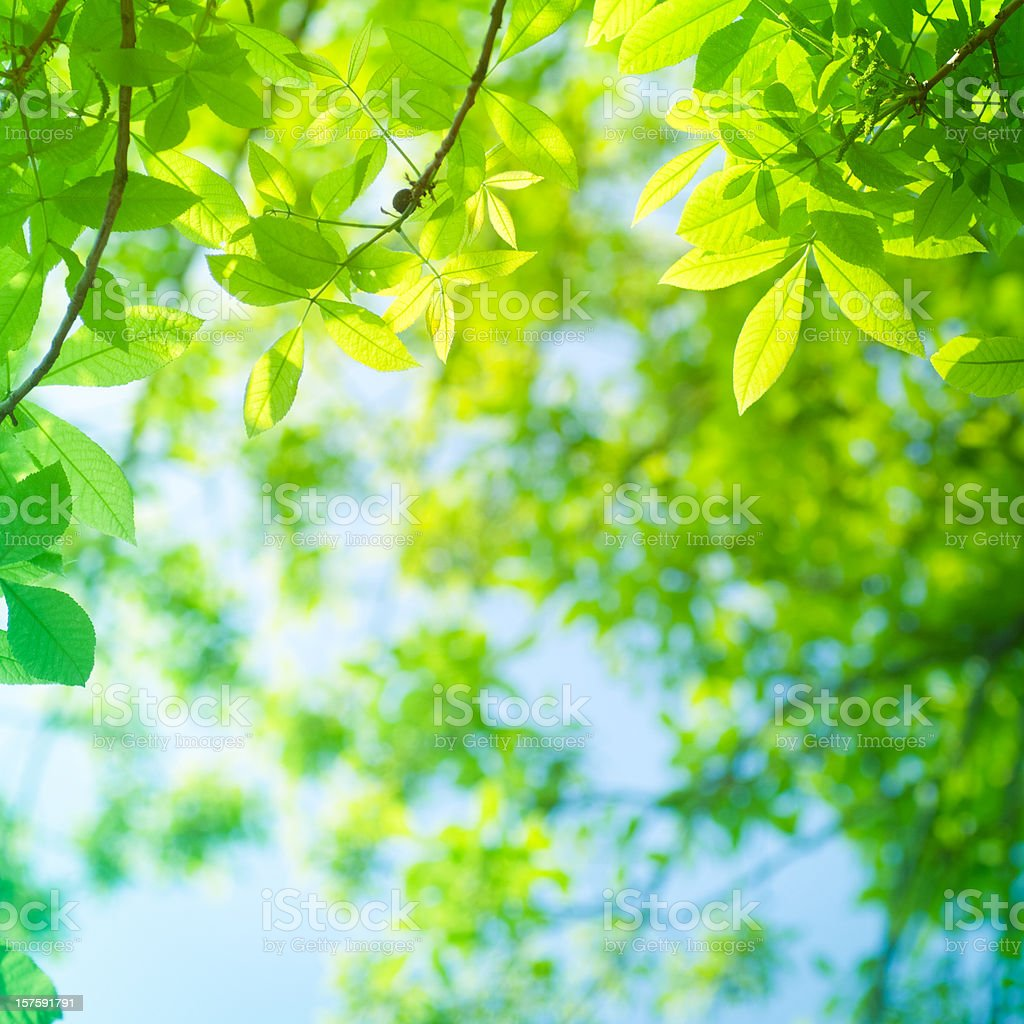 Spring beech leaves royalty-free stock photo