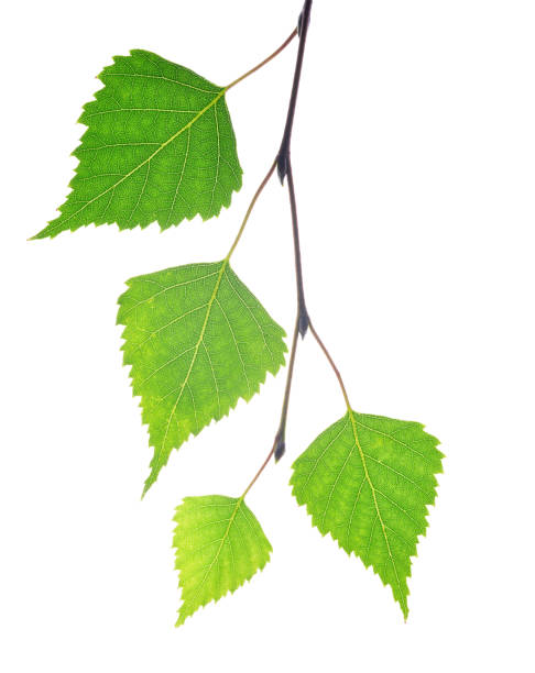Spring birch branch with green leaves. stock photo