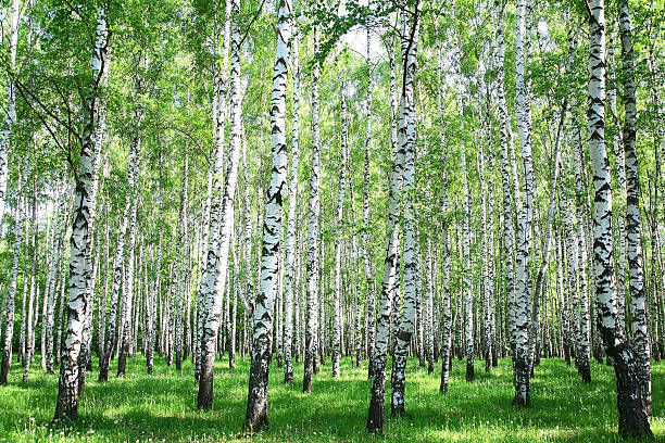 Spring Birke Wald – Foto