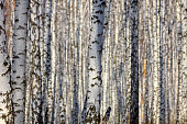 Winter landscape -  golden sunset in the birch grove. Golden sunlight among white trunks of birch trees. Fairy tale of frosty winter forest