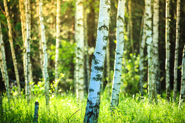 Spring Birch Forest - Sun Shining Between Trees stock photo
