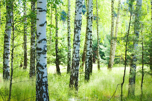Spring Birke Wald und Sonne scheint zwischen Bäumen – Foto