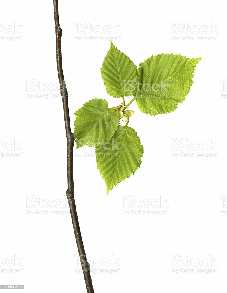 Spring Birch Leaves. royalty-free stock photo