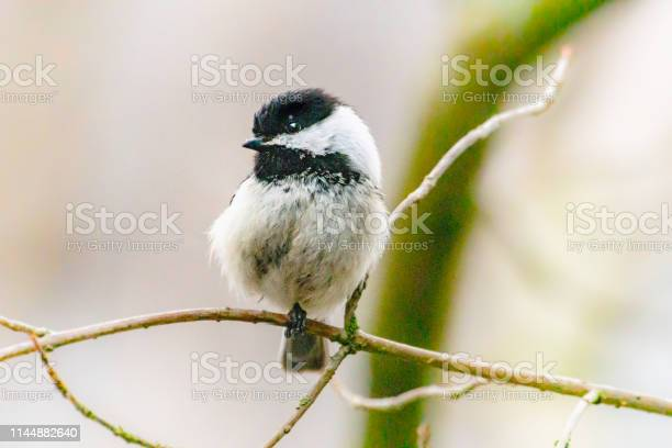Photo of Spring bird, chickadee