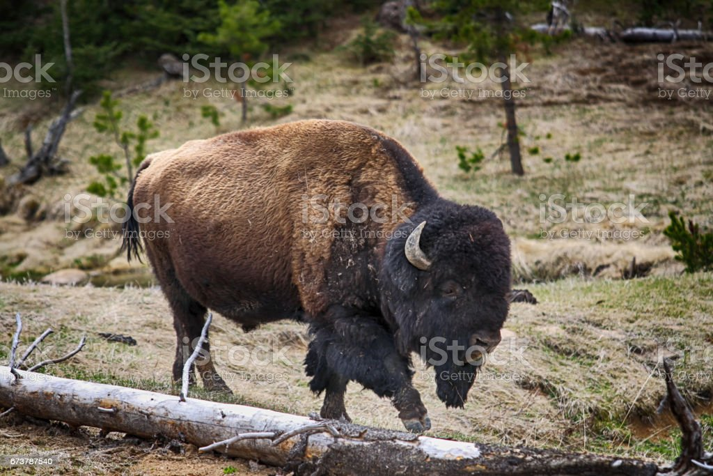 A Spring Bison Bull royalty-free stock photo