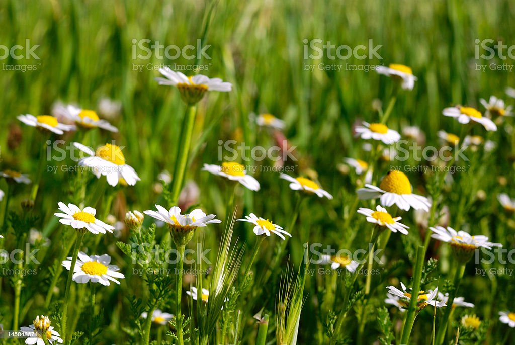 spring bloomimg royalty-free stock photo