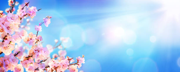 spring blooming - almond blossoms with sunlight in the sky - blossom stock pictures, royalty-free photos & images
