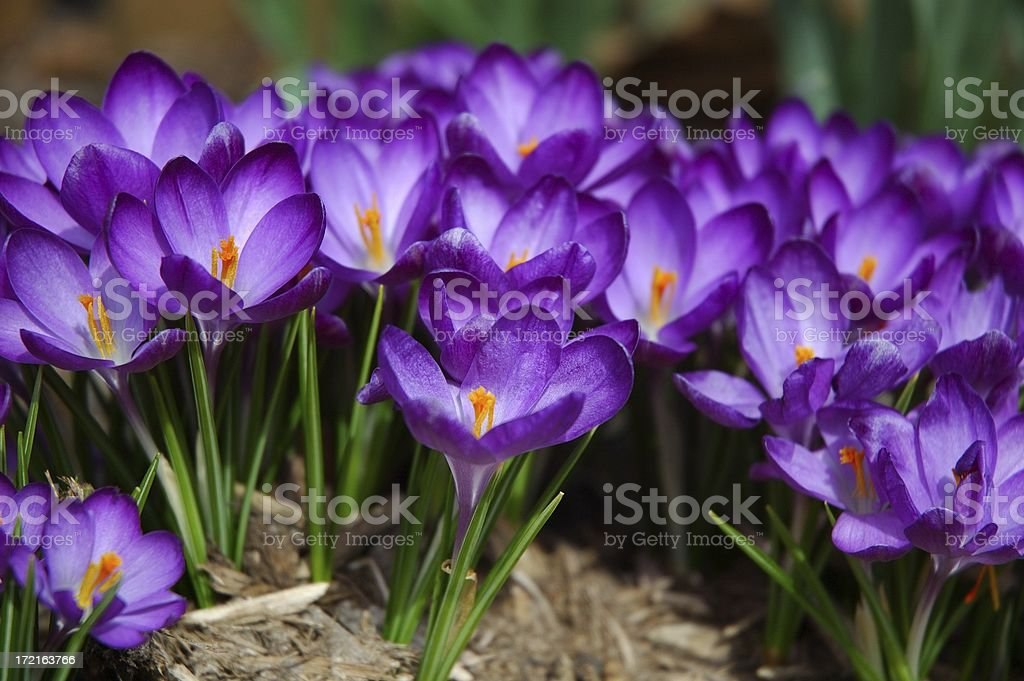 Spring Blooming Crocus Flowers stock photo