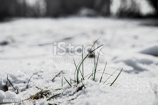 639394370 istock photo Spring blooming flowers coming up through the snow 639384192