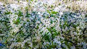 Spring blooming fruit cherry apricot apple tree branches white blossom flowers leaves background. Soft focus