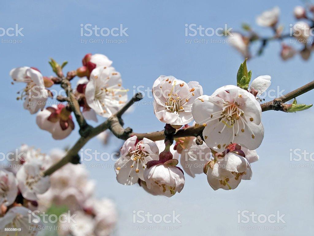 Wiosnę kwitnących japoński sakura wiśniowe kwiaty Oddział zbiór zdjęć royalty-free