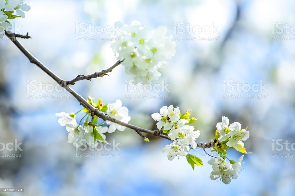 Spring Blooming Orchard - Fruit Tree with Flowers stock photo