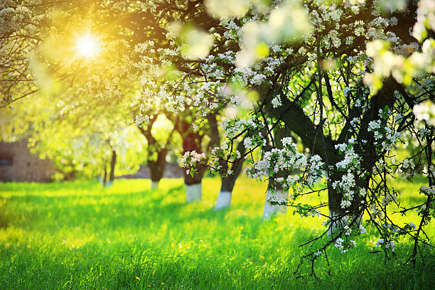 Spring Blooming Orchard - Sun Shining through the Tree stock photo