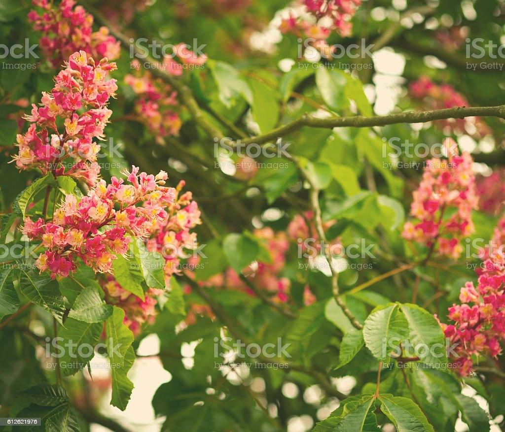 Spring Blooming Pink Chestnut Tree Flowers Nature Background Stock