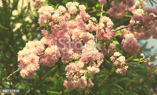 948743278istockphoto Spring blooming pink flowers on tree, nature background 640131818