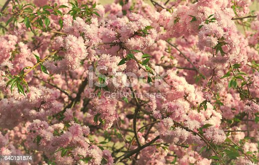 948743278istockphoto Spring blooming pink flowers on tree, nature background 640131874