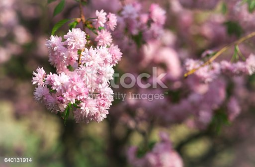 948743278istockphoto Spring blooming pink flowers on tree, nature background 640131914
