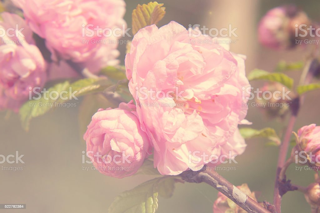 Spring blooming pink roses blossoms tree stock photo