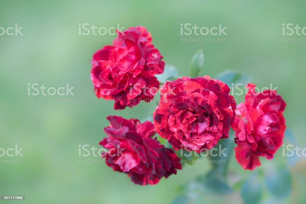 Spring blooming roses in soft focus on light pastel background outdoor close-up macro. stock photo