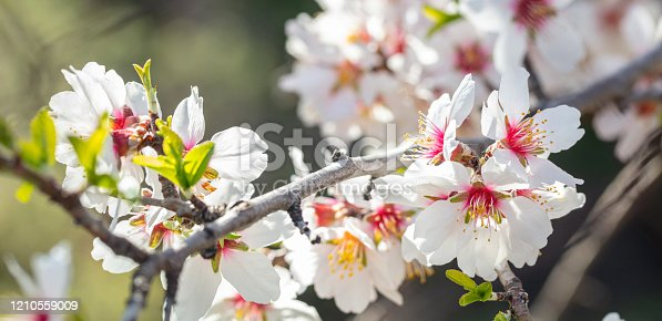 909680446 istock photo Spring blooming. White almond flowers closeup, blur background 1210559009