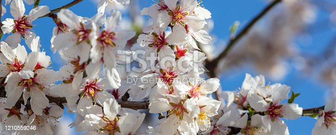 909680446 istock photo Spring blooming. White almond flowers closeup, blur background 1210559246