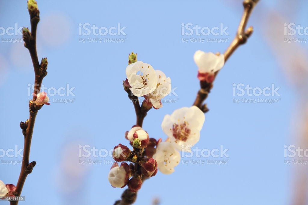spring blossom agains blue sky royalty-free stock photo