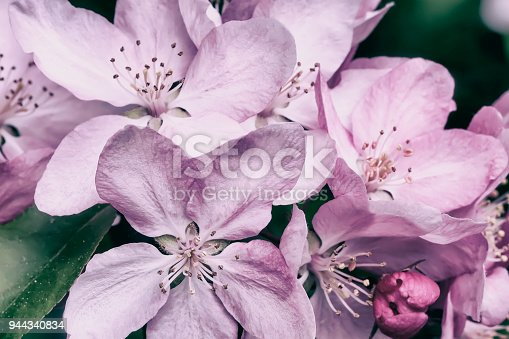 Spring blossom, apple bloom, sakura flowers close-up, natural toned background