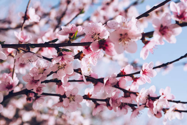 frühlingsblüte hintergrund. schöne naturszene mit blühendem baum und sonnenflare. sonniger tag. frühlingsblumen. schöner obstgarten. abstrakter, verschwommener hintergrund. frühling - kirschblüte stock-fotos und bilder