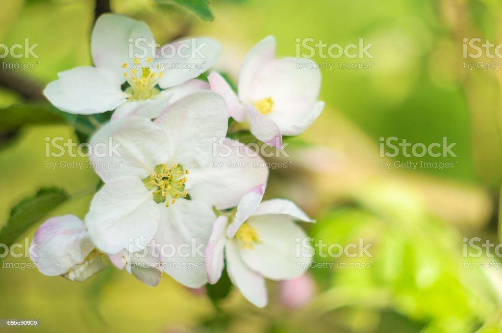 春季開花背景。櫻桃花花瓣。春天盛開的花園。 免版稅 stock photo