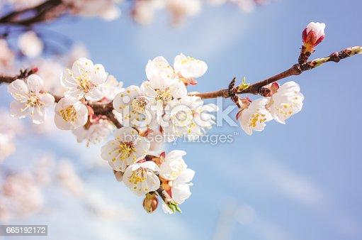 istock Spring blossom background 665192172